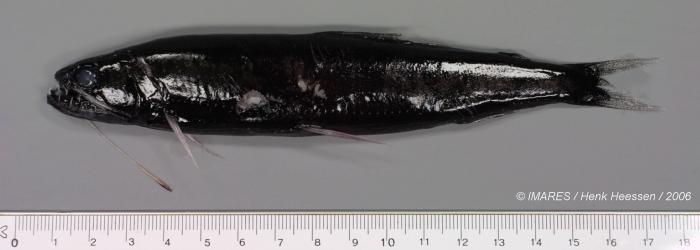 Stomiidae sp.