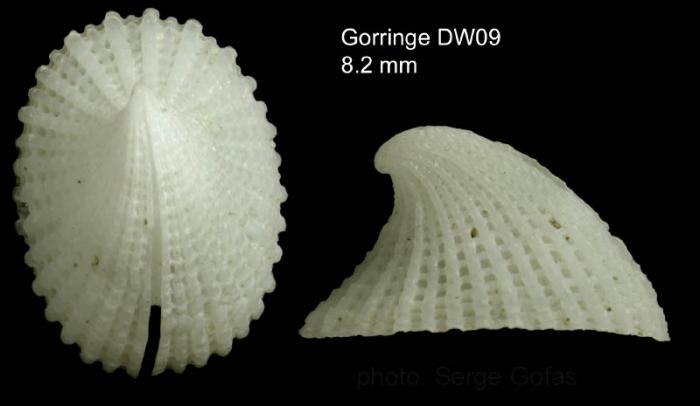 Emarginula fissura (Linnaeus, 1758)Shell from Gorringe seamount,  36°31'N, 11°38'W, 350-360 m, 'Seamount 1' DE09, (actual size 8.2 mm)