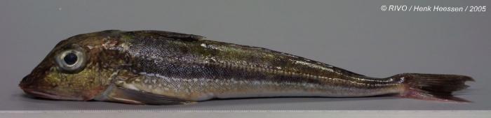 Eutrigla gurnardus (Linnaeus, 1758)