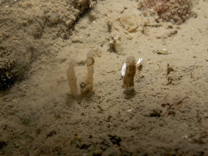 Oceanapia isodictyiformis in situ
