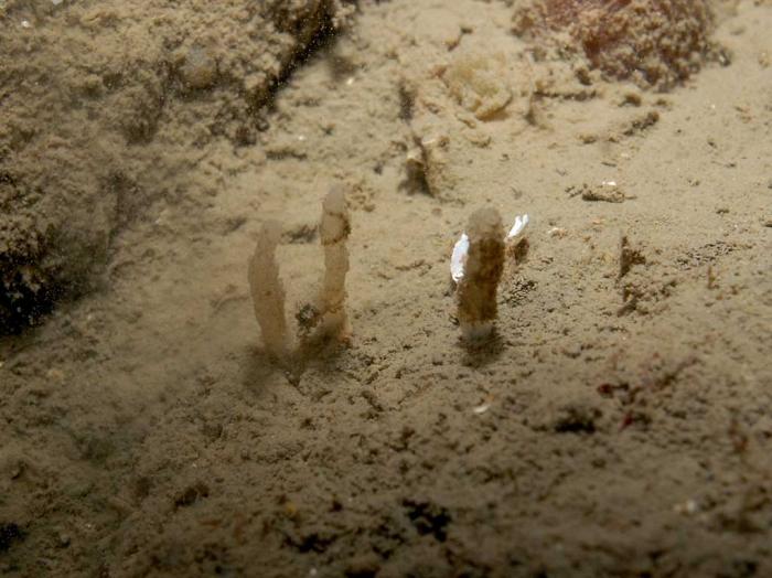 Oceanapia isodictyiformis in situ