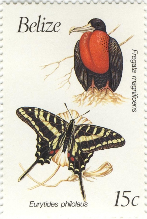 Fregata magnificens