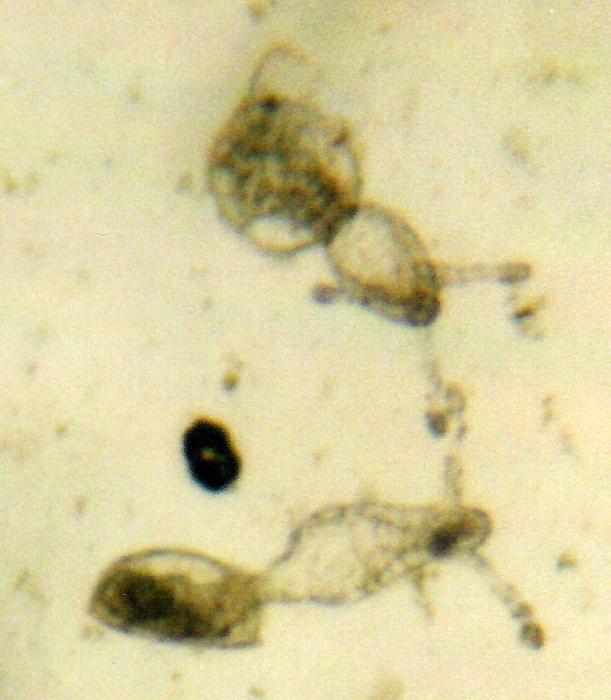Nemopsis bachei