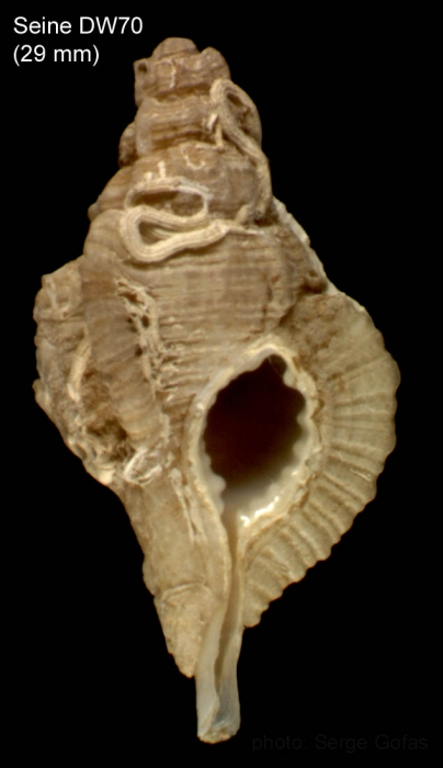 Cymatium pharcidum (Dall, 1889) Shell from Seine seamount, 33°43'N, 14°24'W,  180-190 m, 'Seamount 1' sta. DW70 (actual size 29 mm)