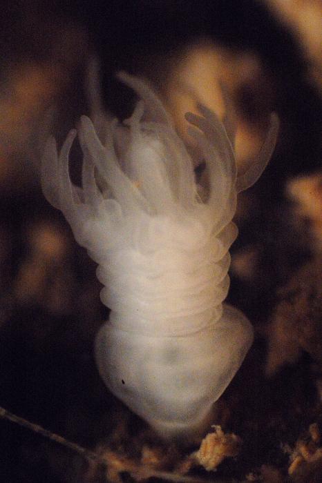 Aurelia aurita polyp