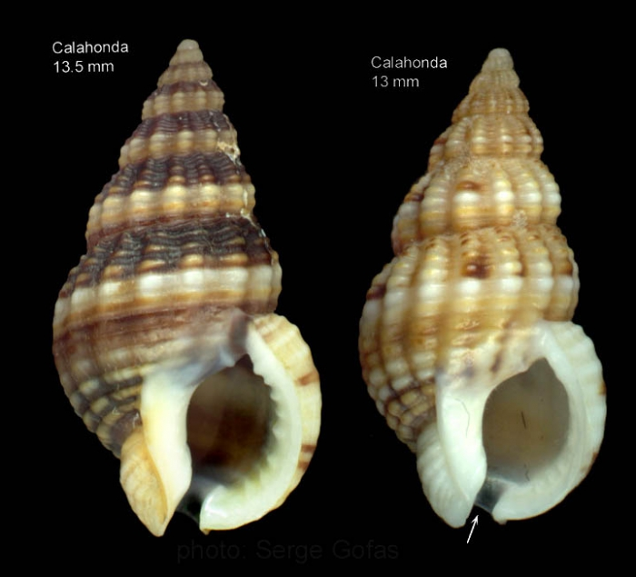 Nassarius incrassatus (Strøm, 1768)Shells from Calahonda, Malaga, southern Spain  (actual size 13.5 and 13.0 mm)