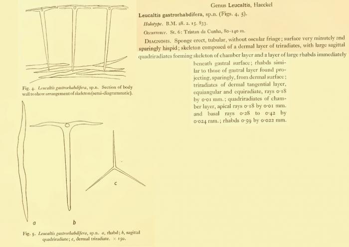Leucaltis gastrorhabdifera = Amphoriscus gastrorhabdifer