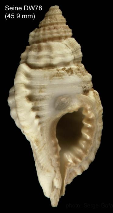 Cymatium corrugatum (Lamarck, 1816) Shell from Seine seamount, 33°49'N, 14°23'W,  235 m, 'Seamount 1' sta. DW78 (actual size 45.9 mm)