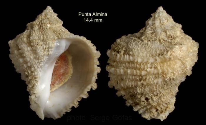 Coralliophila brevis(de Blainville, 1832)Specimen from off Punta Almina, Ceuta, Strait of Gibraltar, 32-40 m (actual size 14.4 mm)