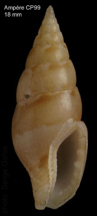 Mitrella pallaryi  (Dautzenberg, 1927)Specimen from Ampère seamount, 35°04'N - 12°55'W, 225-280 m, 'Seamount 1' CP99 (actual size 18 mm)