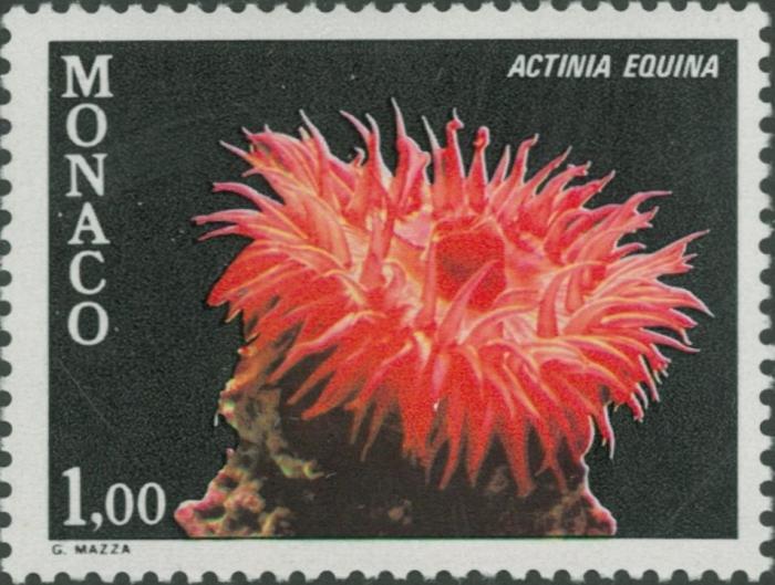 Actinia equina