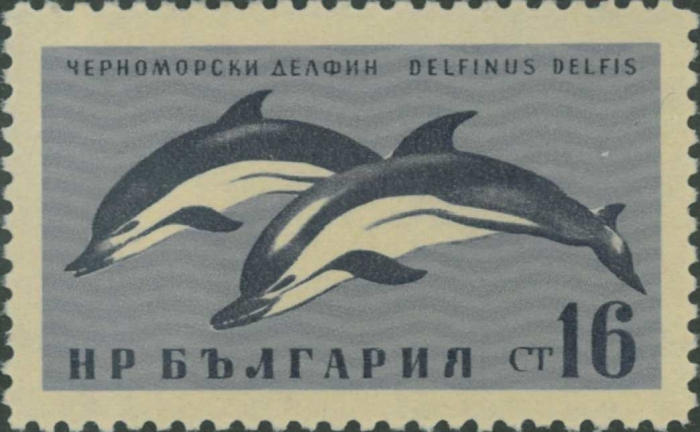 Delphinus delphis