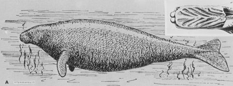 Hydrodamalis gigas, sketch and palate by J.F. Brandt
