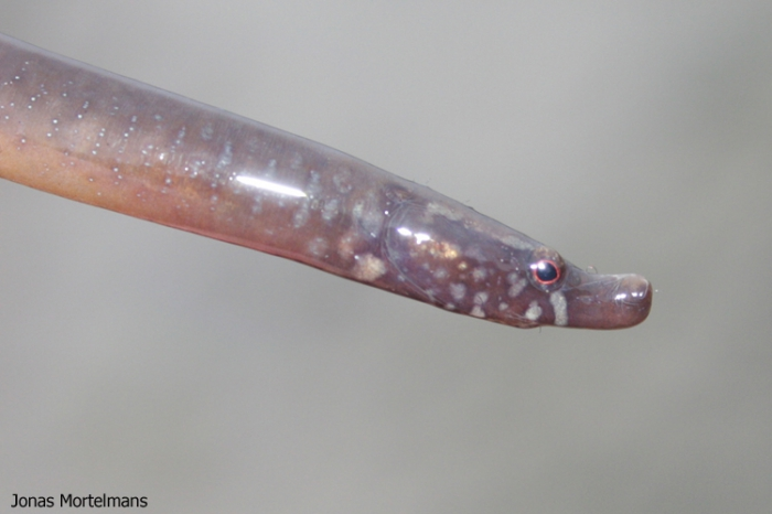 Kleine Wormzeenaald (Nerophis lumbriciformis)