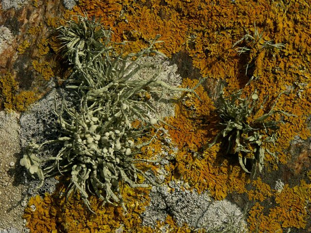 Ramalina siliquosa