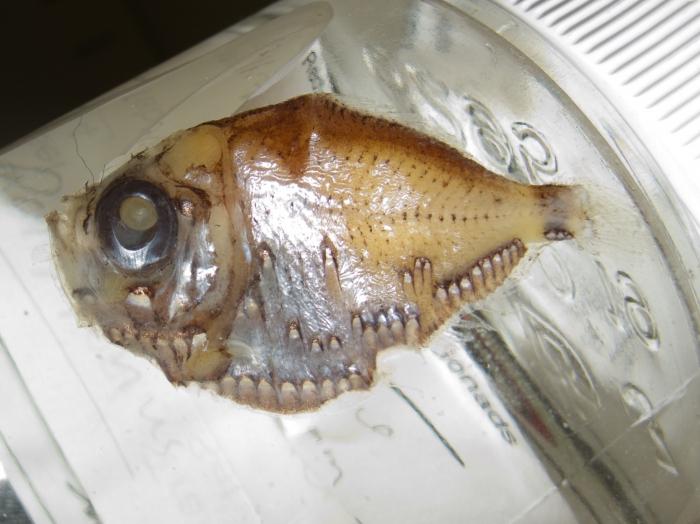 Polyipnus clarus