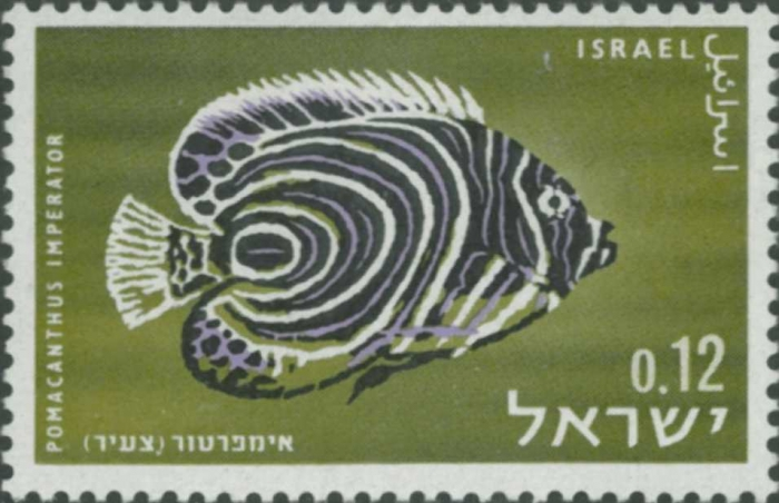 Pomacanthus imperator (juv.)