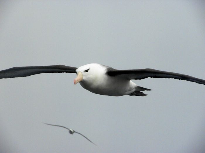 Black browed Albatross on South Atlantic Ocean