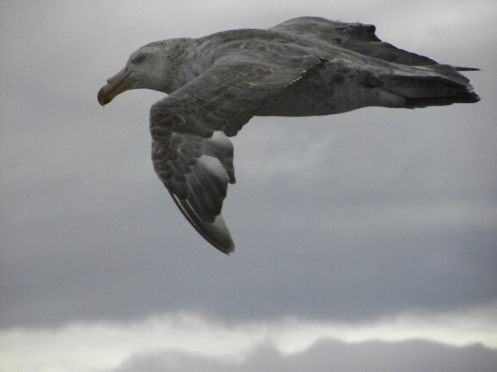 Northern Giant Petrel at Argentine continental shelf