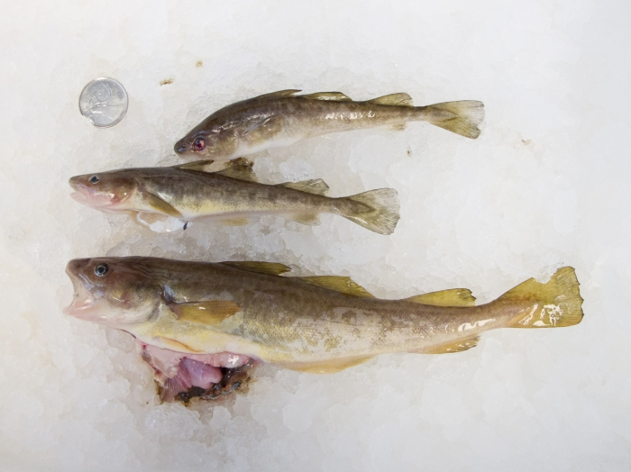 Microgadus tomcod - Atlantic tomcod (poulamon atlantique)