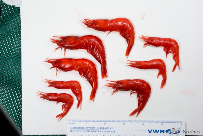 Acanthephyra - scarlet shrimps