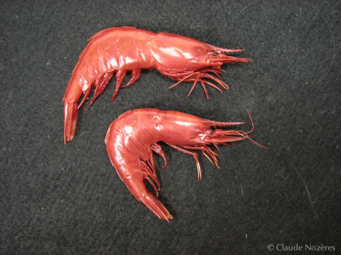 Acanthephyra - pair of scarlet shrimps