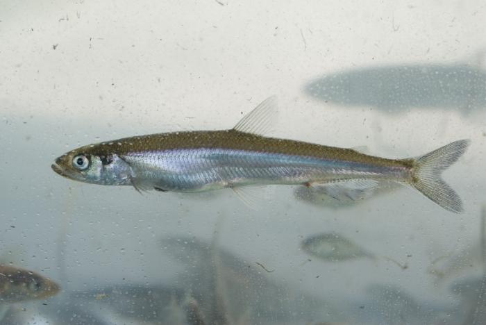 Osmerus mordax, Rainbow smelt (éperlan)