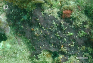 Xestospongia bocatorensis Díaz et al. 2007