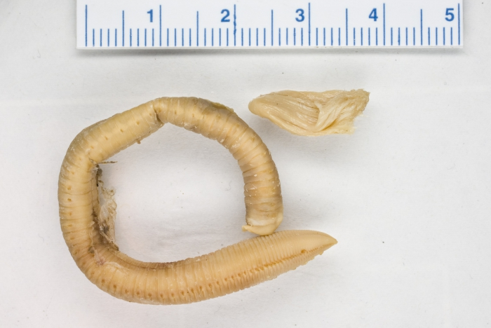 Chone infundibuliformis