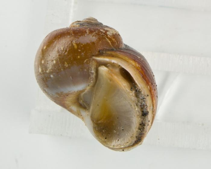 Cryptonatica affinis (operculum)