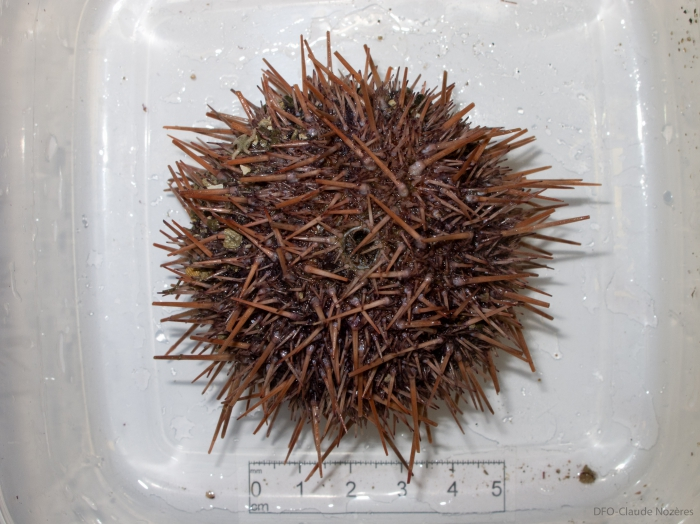 Strongylocentrotus droebachiensis - red variant
