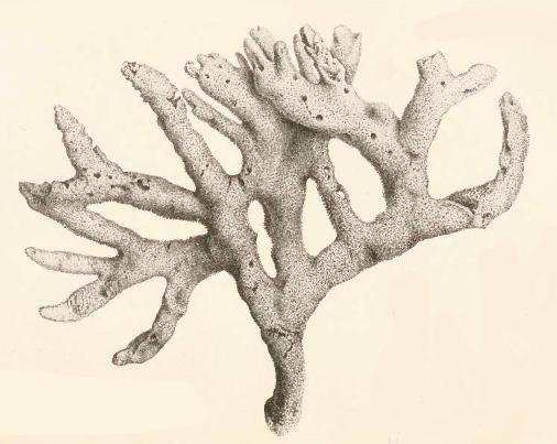 Original Plate of Bowerbank's (1874) Isodictya dissimilis