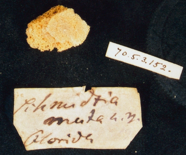Schmidtia muta, BMNH fragment of type