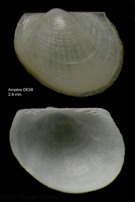 Bathyarca pectunculoides (Scacchi, 1835)Specimen from Ampère seamount, 35°03'N, 12°55'W, 300-325 m, 'Seamount 1' DE98 (actual size  2.8 mm)