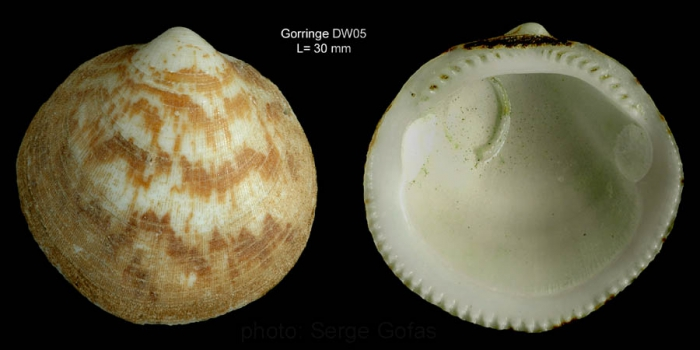 Glycymeris glycymeris (Linnaeus, 1758)Shell from Gorringe seamount, 36°32'N, 11°38'W, 180 m, 'Seamount 1' DW05 (actual size 30 mm)