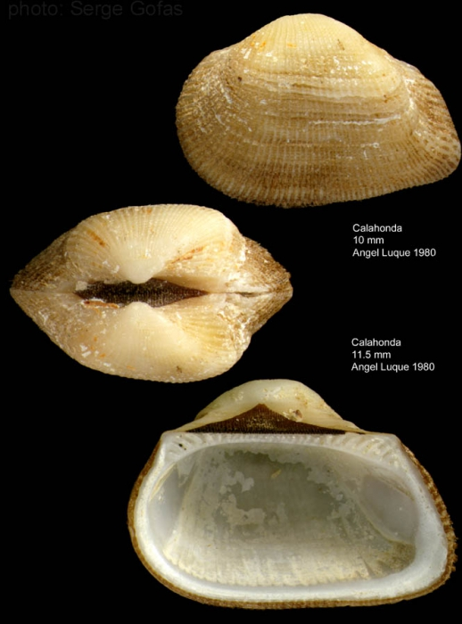 Striarca lactea (Linnaeus, 1758)Shell from Calahonda, southern Spain (actual size 10 and 11.5 mm)