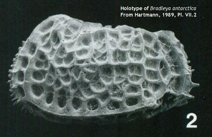 Holotype of Bradleya antarctica