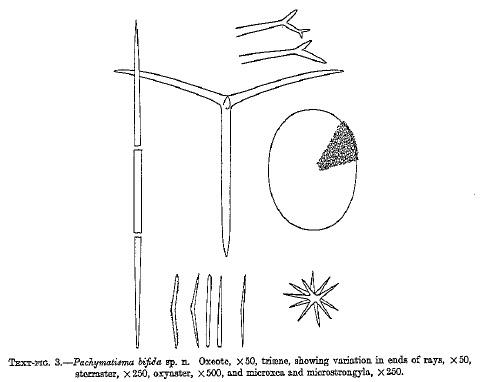Pachymatisma bifida
