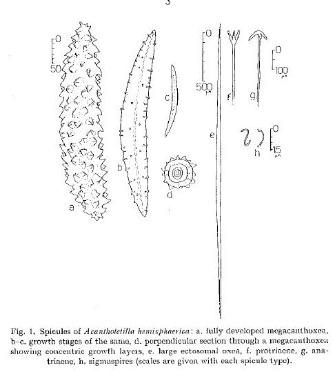 Acanthotetilla hemisphaerica spicules