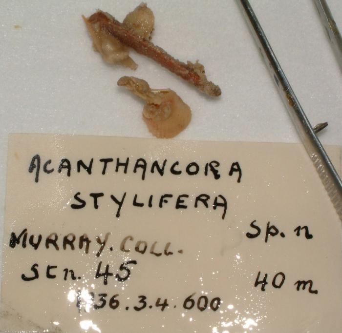 Acanthancora stylifera