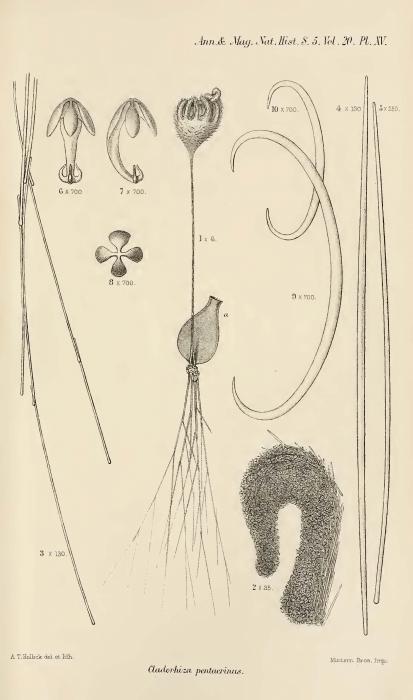 Cladorhiza pentacrinus