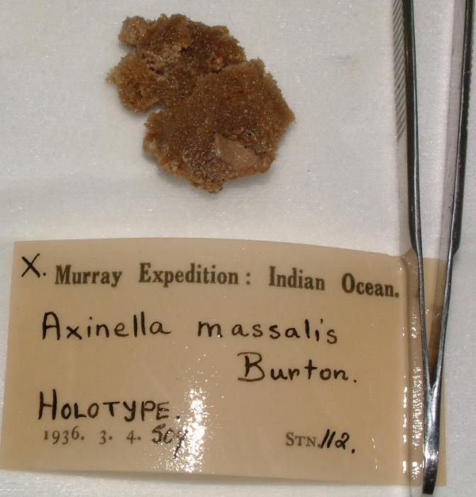 Axinella massalis