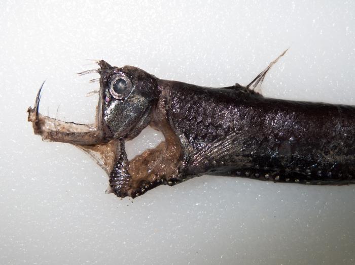 Chauliodus sloani - head