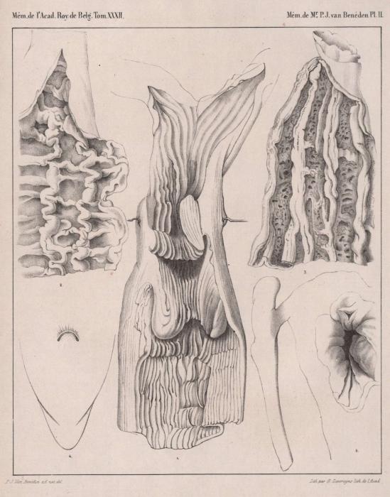 Van Beneden (1861, pl. 2)