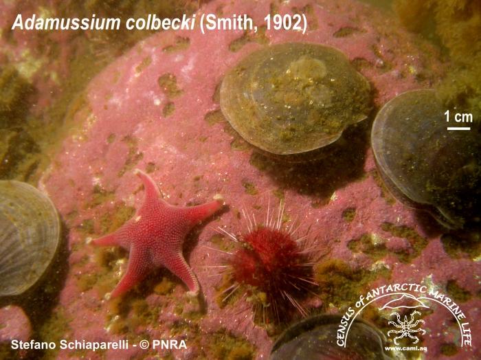 Adamussium colbecki 4