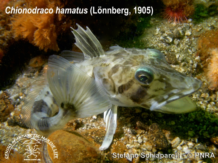 Chionodraco hamatus 4