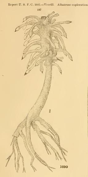 Cladorhiza grandis Verrill