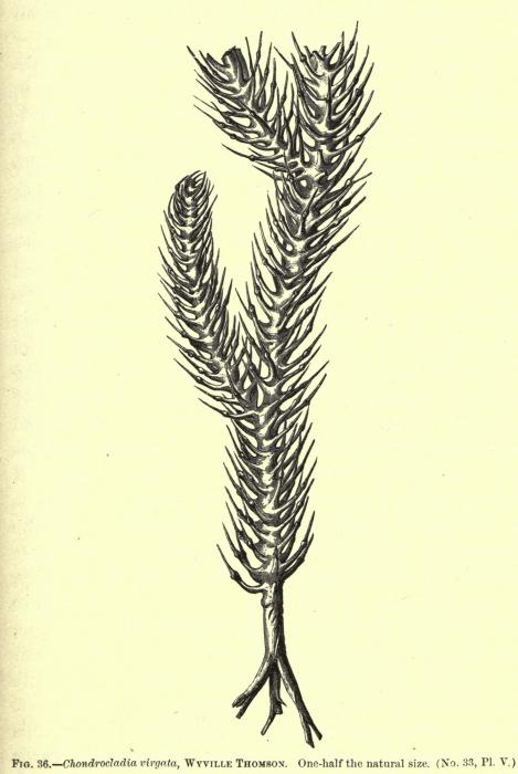 Chondrocladia virgata