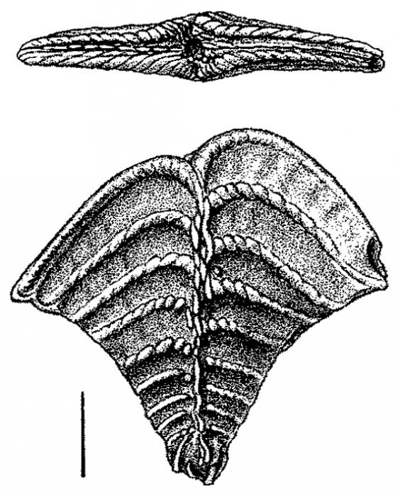 Rugobolivinella elegans, Lectotype