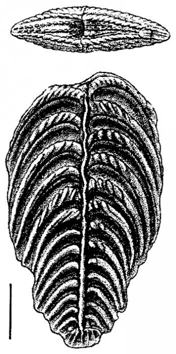 Rugobolivinella pendens, Paratype